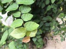 Foglie verdi fresche dell'albero di bottone Immagine Stock