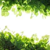 Foglie verdi fresche dell'albero, struttura quadrata Immagini Stock Libere da Diritti