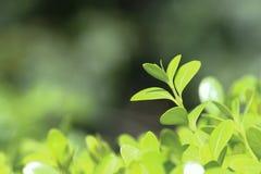 Foglie verdi fresche; foglie della molla del› del ¼ del boxwoodï fotografia stock libera da diritti