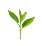 Foglie verdi fresche della plantula isolate su bianco Immagine Stock