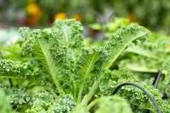 Foglie verdi fresche di cavolo Pianta di verdure verde delle foglie fotografia stock