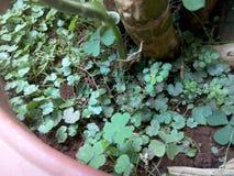 Foglie verdi fresche nel vaso e nelle radici del fango Immagini Stock