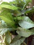 Foglie verdi fresche nella vista dettagliata del vaso Fotografia Stock Libera da Diritti