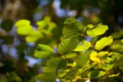 Foglie verdi fresche su un albero di faggio Immagine Stock