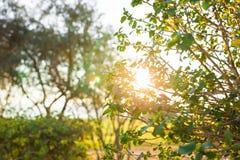Foglie verdi fresche sulla natura che incornicia il sole nel mezzo e che forma i raggi di luce Fotografie Stock