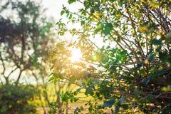 Foglie verdi fresche sulla natura che incornicia il sole nel mezzo e che forma i raggi di luce Fotografia Stock