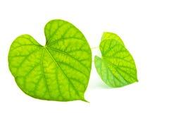 Foglie verdi isolate su fondo bianco Fotografia Stock