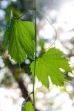 Foglie verdi, le foglie al sole, pianta nel giardino Fotografia Stock Libera da Diritti