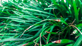 Foglie verdi lunghe Immagine Stock