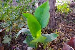 Foglie verdi lunghe piane, pianta fotografie stock