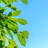 Foglie verdi naturali sul fondo del cielo Fotografia Stock Libera da Diritti