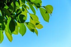 Foglie verdi naturali sul fondo del cielo Immagini Stock
