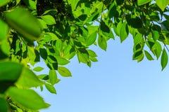 Foglie verdi naturali sul fondo del cielo Fotografia Stock