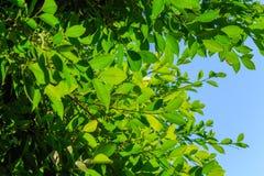 Foglie verdi naturali sul fondo del cielo Immagine Stock