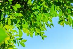 Foglie verdi naturali sul fondo del cielo Immagini Stock Libere da Diritti