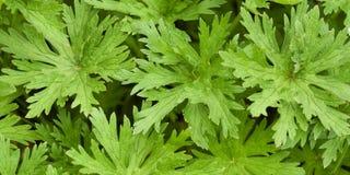 Foglie verdi Openwork di erba selvatica nella foresta fotografie stock