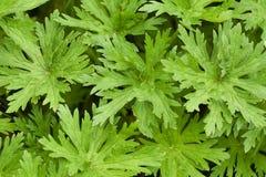 Foglie verdi Openwork di erba selvatica nella foresta fotografie stock libere da diritti