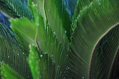 Foglie verdi - palma Fotografia Stock Libera da Diritti