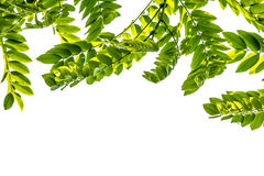Foglie verdi per fondo Fotografia Stock