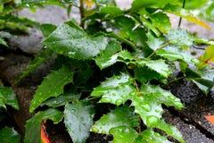 Foglie verdi in primavera in giardino Gocce di acqua Immagini Stock Libere da Diritti