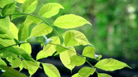 Foglie verdi retroilluminate d'ondeggiamento dell'albero stock footage