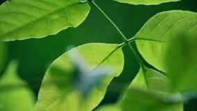 Foglie verdi retroilluminate d'ondeggiamento dell'albero archivi video