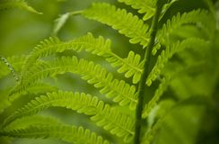 Foglie verdi ricce con fondo confuso fotografia stock