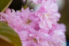 Foglie verdi rosa del fiore di ciliegia Fotografia Stock