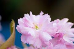 Foglie verdi rosa del fiore di ciliegia Immagini Stock