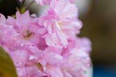 Foglie verdi rosa del fiore di ciliegia Fotografie Stock Libere da Diritti