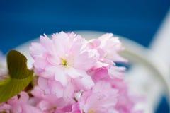 Foglie verdi rosa del fiore di ciliegia Immagine Stock Libera da Diritti