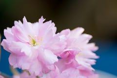 Foglie verdi rosa del fiore di ciliegia Fotografia Stock Libera da Diritti