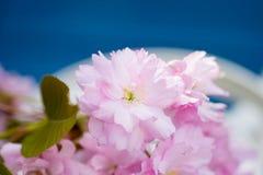 Foglie verdi rosa del fiore di ciliegia Immagine Stock