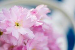 Foglie verdi rosa del fiore di ciliegia Fotografie Stock