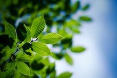 Foglie verdi sotto il cielo blu Fotografia Stock Libera da Diritti