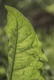 Foglie verdi strutturate luminose backlit Immagini Stock