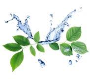Foglie verdi su acqua Immagini Stock