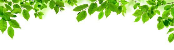 Foglie verdi su bianco come ampio confine Immagine Stock