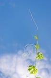 Foglie verdi su cielo blu Immagine Stock