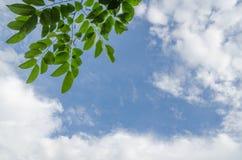 Foglie verdi su cielo blu con la nuvola Fotografia Stock
