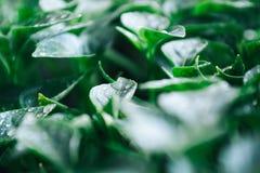 Foglie verdi su giovane pepe Fondo verde fotografia stock libera da diritti