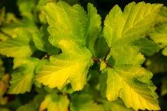 Foglie verdi su un ramo di un cespuglio Immagine Stock