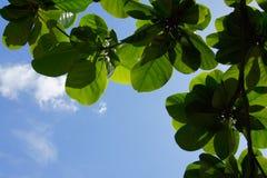 Foglie verdi succose su un fondo di bello cielo blu Fotografia Stock Libera da Diritti