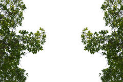 Foglie verdi sui precedenti bianchi isolati Fotografie Stock