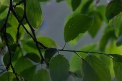 Foglie verdi sui precedenti dell'albero della molla Fotografie Stock