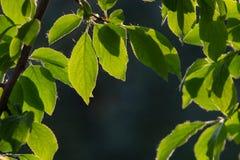Foglie verdi sui precedenti dell'albero della molla Fotografie Stock Libere da Diritti