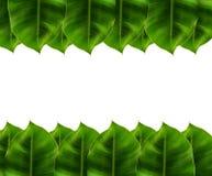 Foglie verdi sul fondo di bianco del piede & della testa Fotografia Stock Libera da Diritti