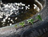 Foglie verdi sul lavandino dell'acqua con la luce del sole immagine stock libera da diritti