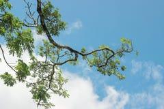 Foglie verdi sul ramo in cielo blu Immagini Stock Libere da Diritti