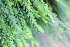 Foglie verdi sul ramo in primavera Fotografie Stock
